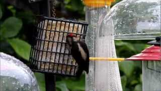 Downy Woodpecker At Feeder Vancouver Island