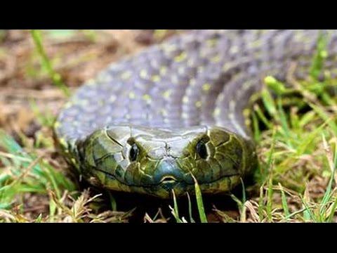 Самая ядовитая змея