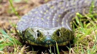 Самая ядовитая змея в мире Тигровая змея