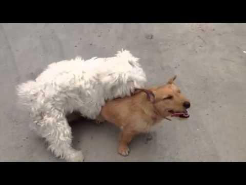 Accoppiamento tra 2 cani youtube for I cani youtube