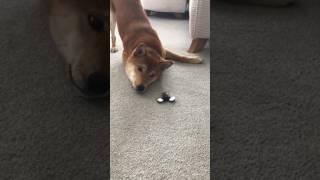 Kiba The Shiba plays with fidget Spinner