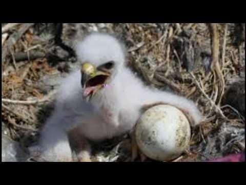 Kisah Anak Elang Yang Merasa Dirinya Seekor Ayam, kisah inspiratif