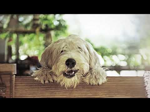 Knowing Your Breed - The Wheaten Terrier