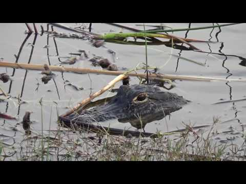American Alligators at Viera Wetlands Melbourne Florida