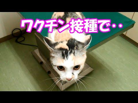 愛猫、ワクチン接種で診察台からまさかの‥ Cat vaccines