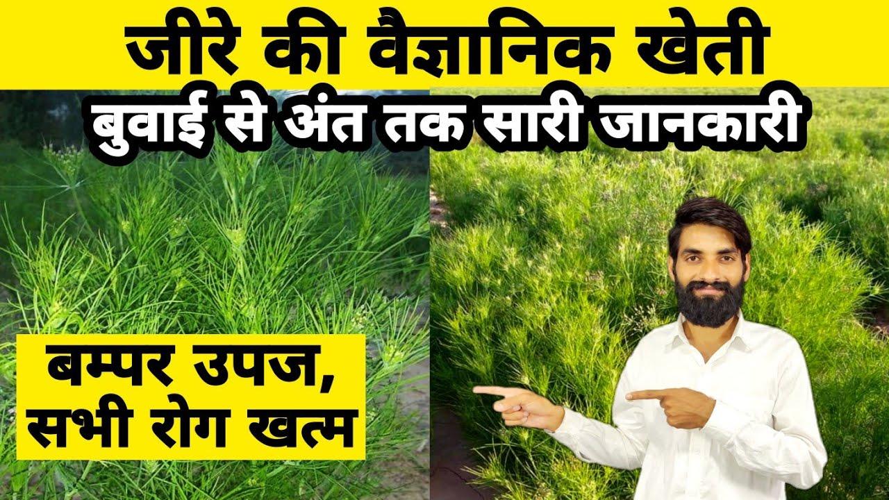जीरे की वैज्ञानिक खेती - बुवाई से अंत तक | Jira ki kheti kaise kare | Jeera ki kheti | Jiru kheti |