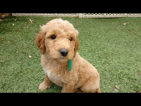 Goldendoodle Puppy Picking!