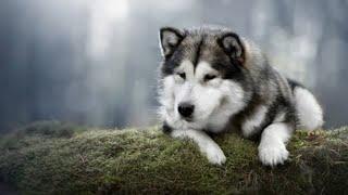 Alaskan Malamute  large dog breed
