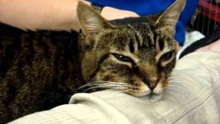 Patty -- Calm And Loving Lapcat {{ Adopted!! }}