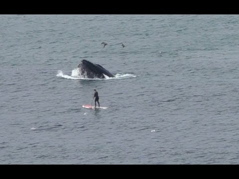 Paddle Boarders close encounters with Whales - Linda Mar, Pacifica, CA
