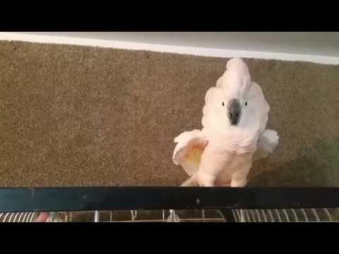 Cockatoo freakout