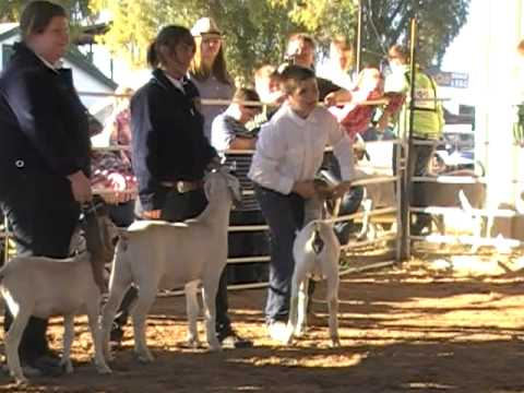 how to show a sheep in showmanship
