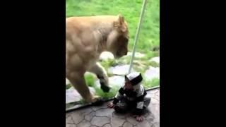 Голодный лев пытается съесть ребенка