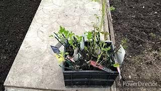 огород,розы,морковь 3 мая 2018 г.