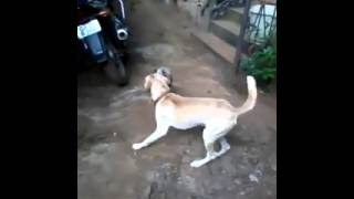 Unbelievable Fight Between A Dog And Cock/chicken/rooster