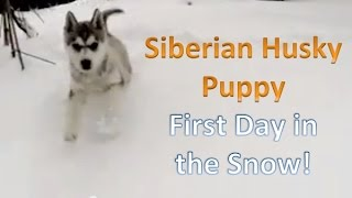 Siberian Husky Puppy - First Day In The Snow