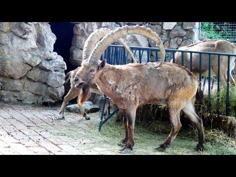 Siberian Ibex - Belgrade Zoo