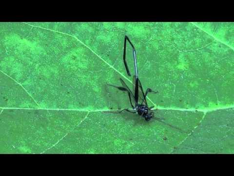 Pelecinid Wasp (Pelecinidae: