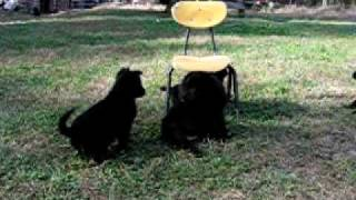 Black German Shepherds -- Tea Cup Wants Her Sister Out From Under That Chair!