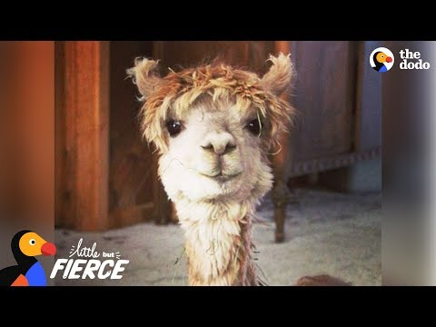 Tiny Alpaca Has A HUGE Personality - CODY | The Dodo Little But Fierce