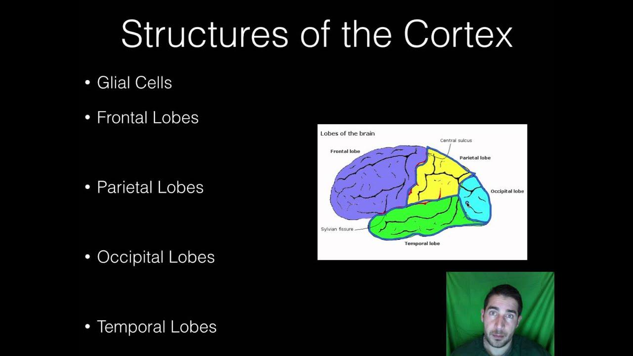 AP Psychology - BioPsych - Part 7 - Parts of the Brain ...
