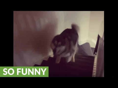 High-energy malamute repeatedly runs up and down stairs