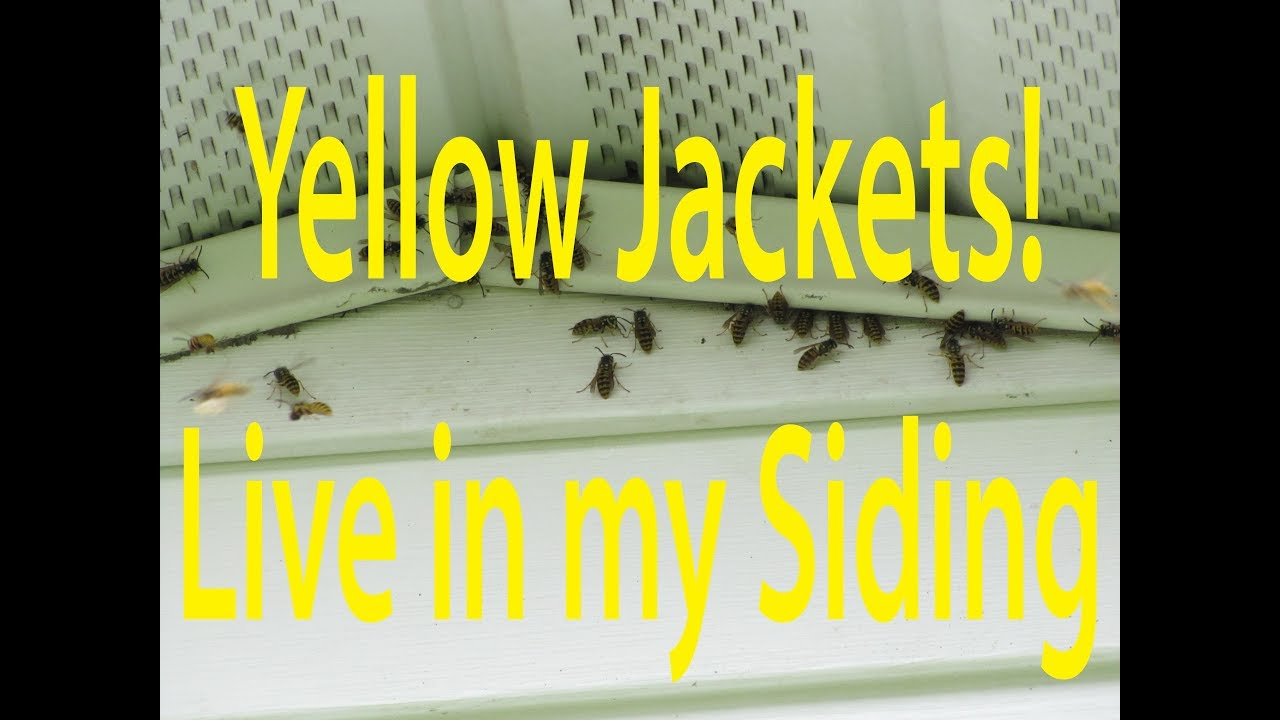Hidden Yellow Jacket Nest In Siding Youtube