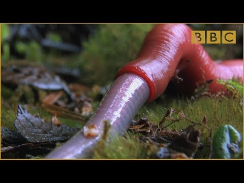 Monster leech swallows giant worm - Wonders of the Monsoon: Episode 4 - BBC Two