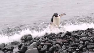 Organized Chaos of Penguin Colonies
