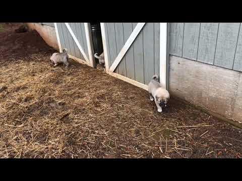 Kangal Akbash puppies emerging