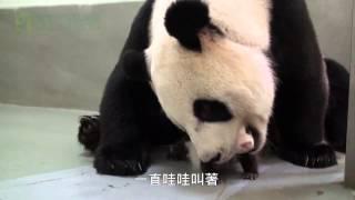 taiwan panda makes adorable noises nearly gets eaten