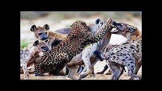 動物 野生 トップ 10 ハイエナ VS ヒョウ の 攻撃 HD 動物 野生 トップ ...