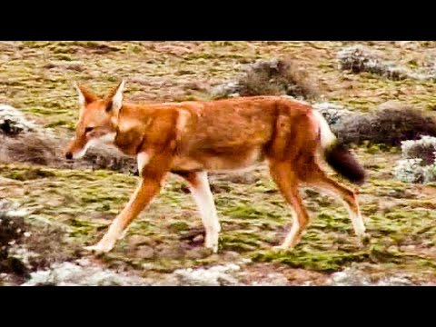 ETHIOPIA - Africa - Watching animals in the Bale Mountains