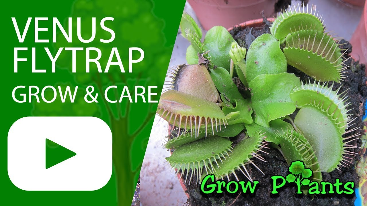 Venus Flytrap How To Grow Care
