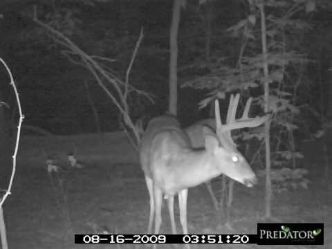 Nice buck working a mineral site...