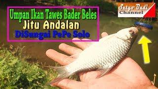 Umpan Ikan Tawes Bader Beles Jitu Andalan DiSungai PePe Solo