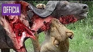 Самых Удивительных Диких Животных Нападает Большой Битвы Животных Бой   Лев Атака