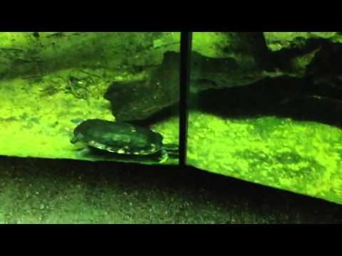 Elongated tortoise