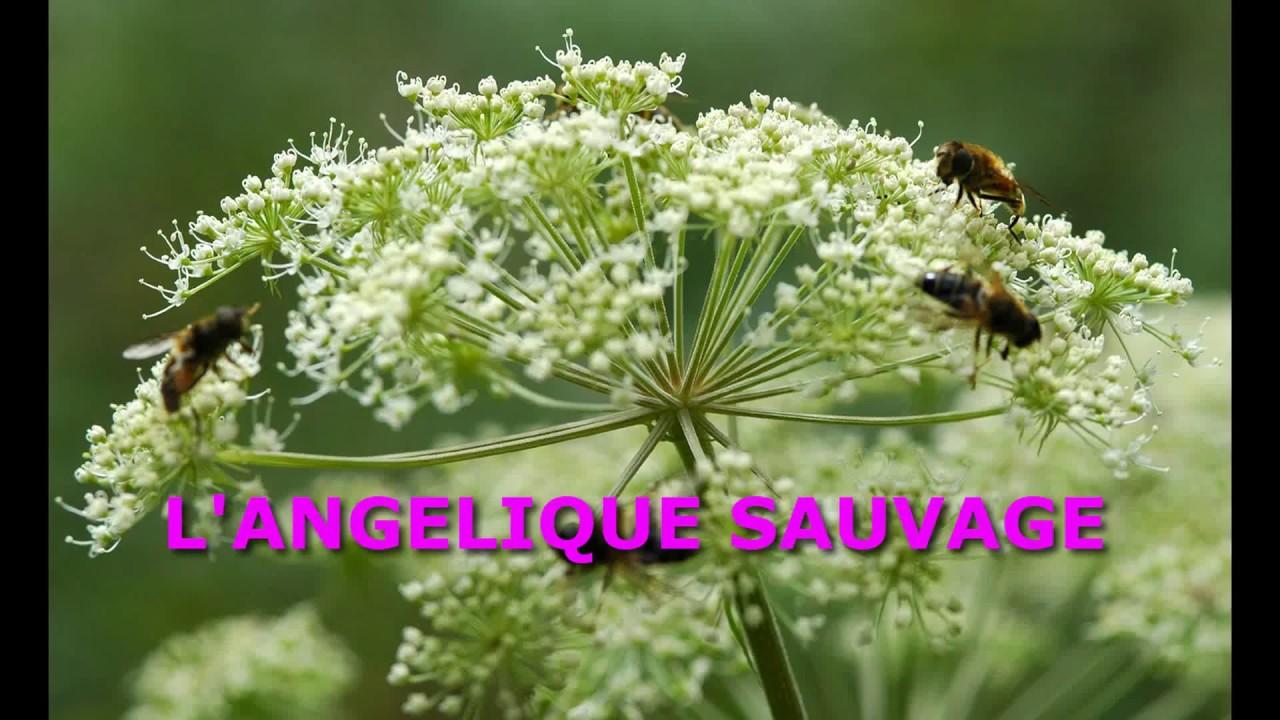 L'angélique sauvage - YouTube