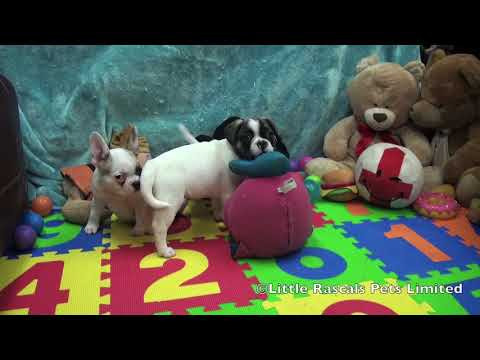 Little Rascals Pets Limited Frug Puppies For Sale Youtube