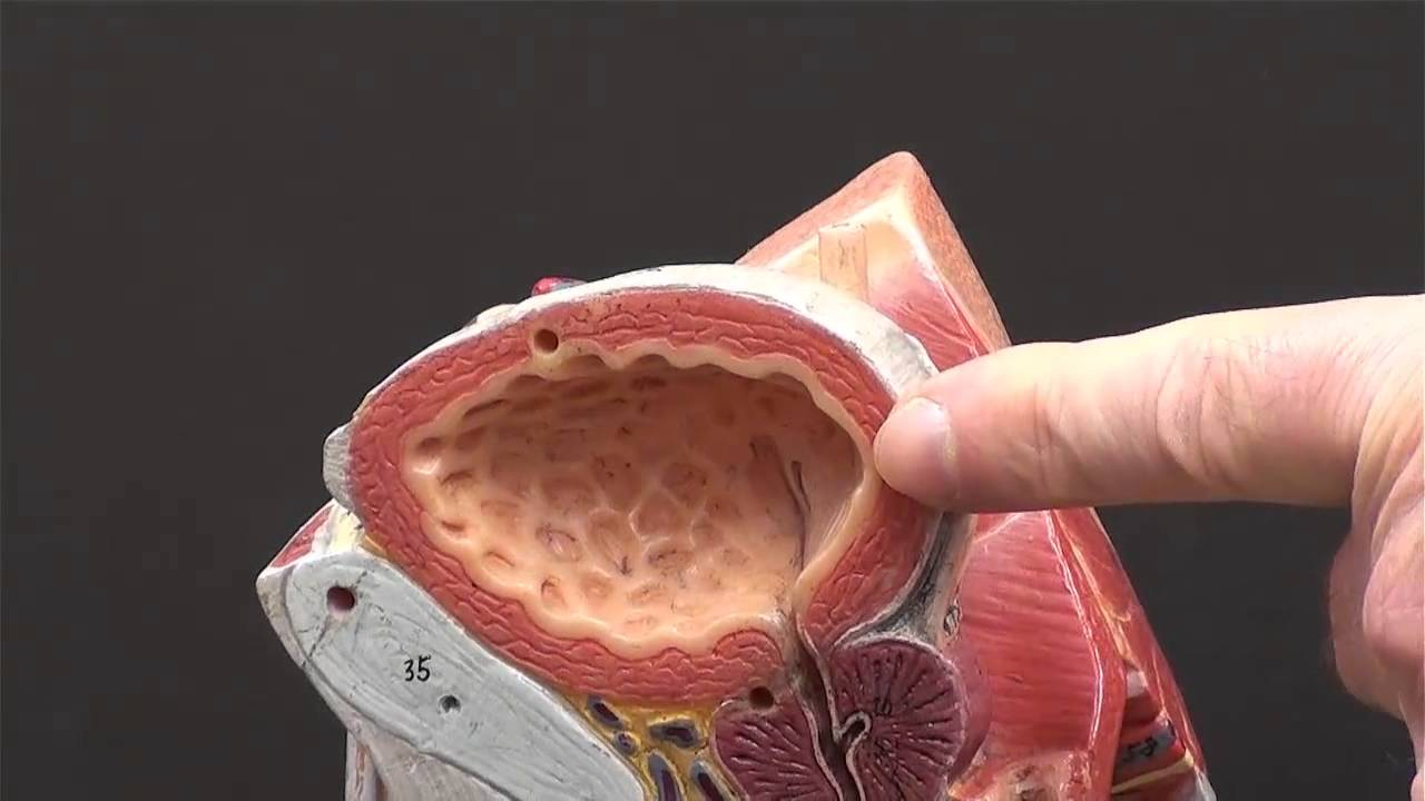 Urinary System Male Youtube