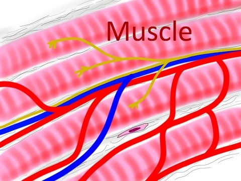 BIO160 Preview Video Lecture 10 -  Muscle Physiology