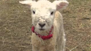 Lambs Baaing