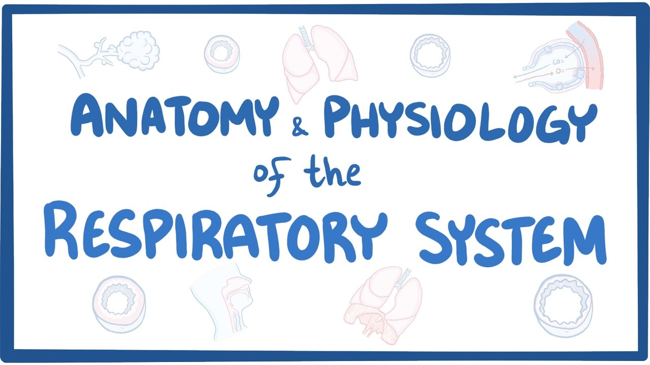 Anatomy And Physiology Of The Respiratory System Youtube