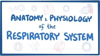 Anatomy and physiology of the respiratory system