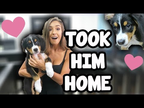 Thumbnail: WE GOT A DOG! *Bernese Mountain Dog*