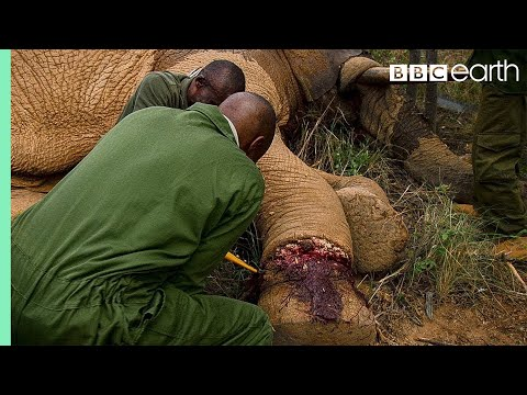 Saving an Elephant from a Deadly Snare | BBC Earth