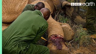 Elephant Needs Life Saving Surgery after Being Caught in a Snare  | BBC Earth thumbnail