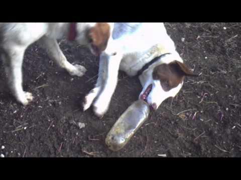 Dog eating a plastic bottle!