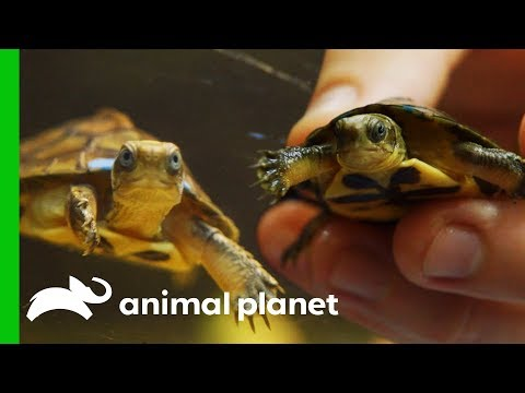 Critically Endangered Turtles Are Being Saved By Zoo Breeding Programs | The Zoo